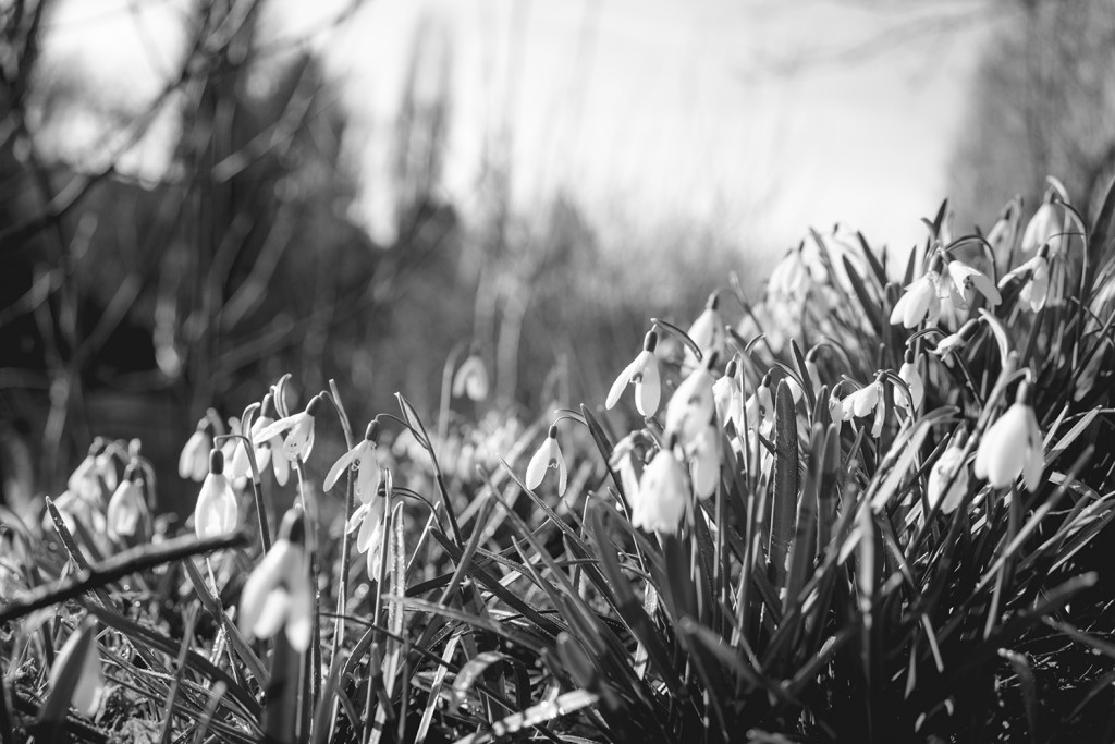 Sunday, March 8th, 2015 in Frankfurt - Number 068 of 366mm Snowdrops in the Niddapark