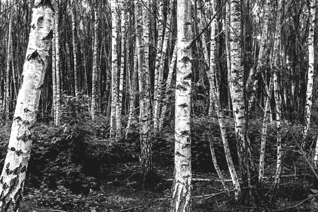 Saturday, May 16th, 2015 in Frankfurt - Number 137 of 366mm Birch forest near home in Frankfurt Eschersheim