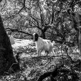 Sunday, June 21st, 2015 in Tiscali - Number 173 of 366mm On the way back from Tiscali, this white mountain goat strutted next to the path