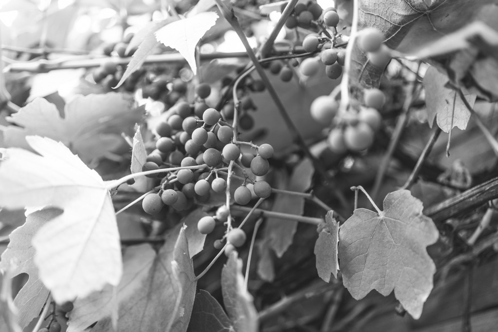 Sunday, July 19th, 2015 in Frankfurt - Number 201 of 366mm Grapes in the  private garden
