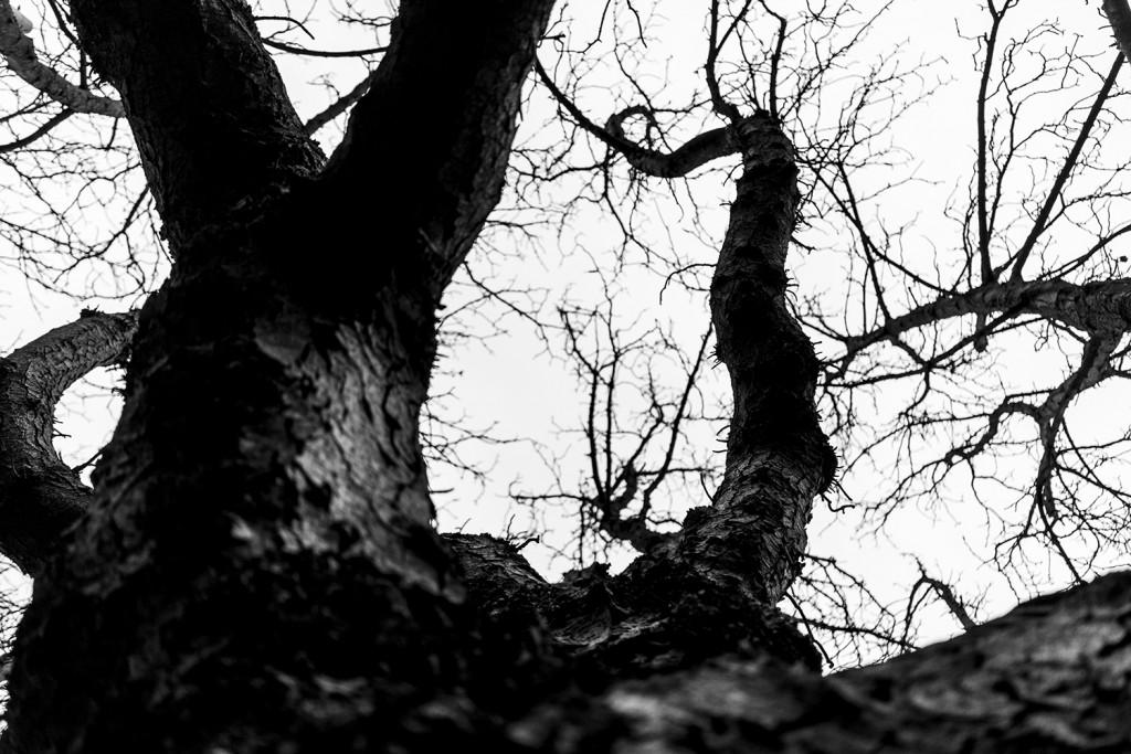 Sunday, November 15th, 2015 in Frankfurt – Number 320 of 366mm Old tree near the university of Frankfurt
